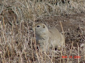 Guided Gopher Hunts in Montana