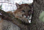 Guided Mountain Lion Hunting in Montana