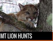 Mountain Lion Hunts in Montana