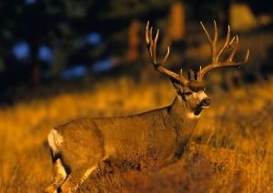 Taking Down a Mule Deer in Montana