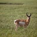 Antelope Season Already Off to a Great Start in Montana