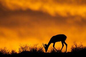 Preparing for an Antelope Hunt