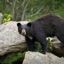 Brush Up on Your ID Skills for Black Bear Season
